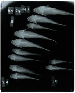 To NMNH Extant Collection (Cathorops higuchii RAD118258-001)