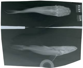 To NMNH Extant Collection (Tachisurus longicephalus RAD118311-001)