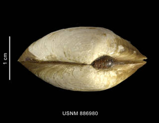 To NMNH Extant Collection (Thracia meridionalis Smith, 1885, shell, apical view)