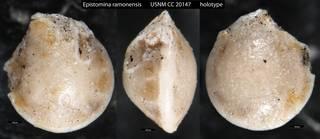 To NMNH Paleobiology Collection (Epistomina ramonensis USNM CC 20147 holotype)