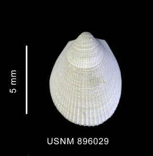 To NMNH Extant Collection (Limatula ovalis (Thiele, 1912) shell, left valve, outer view)