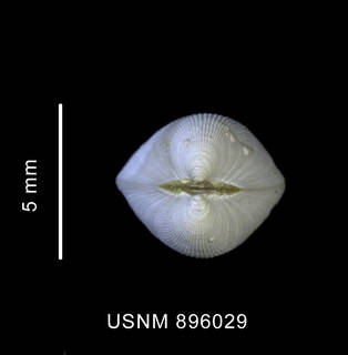 To NMNH Extant Collection (Limatula ovalis (Thiele, 1912) shell, apical view)