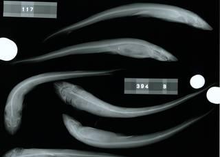 To NMNH Extant Collection (Halaelurus natalensis RAD110524-001)