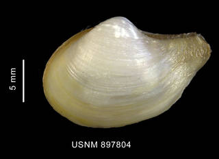 To NMNH Extant Collection (Cuspidaria sp., shell, left valve, outer view)