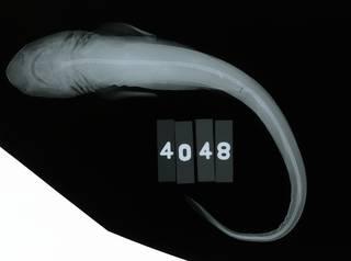 To NMNH Extant Collection (Scyliorhinus retifer RAD110657-001)
