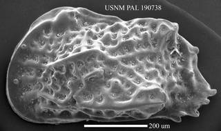 """To NMNH Paleobiology Collection (""""Cythere"""" convoluta USNM PAL 190738)"""