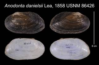 To NMNH Extant Collection (Anodonta danielsii Lea, 1858    USNM 86426)