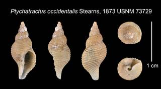To NMNH Extant Collection (Ptychatractus occidentalis Stearns, 1873    USNM 73729)