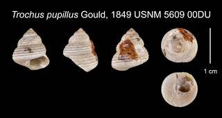 To NMNH Extant Collection (Trochus pupillus Gould, 1849 USNM    5609 00DU)