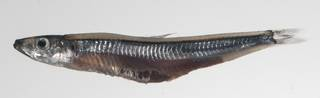 To NMNH Extant Collection (Argentina USNM 424796 photograph lateral view)
