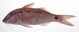 To NMNH Extant Collection (Parupeneus barberinus USNM 424803 photograph lateral view)