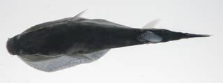To NMNH Extant Collection (Lagocephalus wheeleri USNM 423599 photograph dorsal view)
