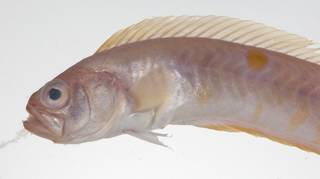 To NMNH Extant Collection (Acanthocepola krusensternii USNM 423602 photograph lateral view)