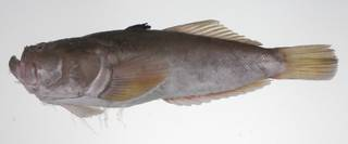 To NMNH Extant Collection (Uranoscopus oligolepis USNM 423556 photograph lateral view)