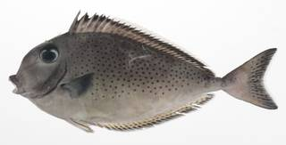 To NMNH Extant Collection (Naso tonganus USNM 424794 photograph lateral view)