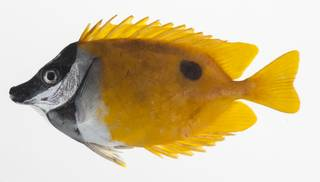 To NMNH Extant Collection (Siganus unimaculatus USNM 424723 photograph lateral view)