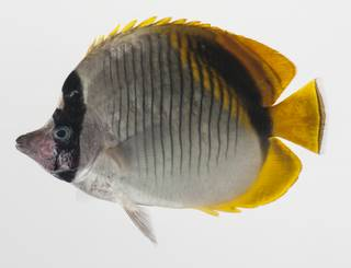 To NMNH Extant Collection (Chaetodon lineolatus USNM 424754 photograph lateral view)