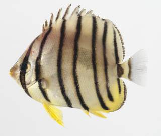 To NMNH Extant Collection (Chaetodon octofasciatus USNM 424834 photograph lateral view)