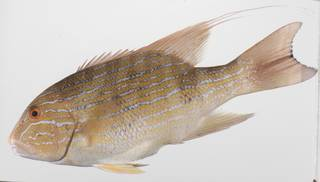To NMNH Extant Collection (Symphorichthys spilurus USNM 423559 photograph lateral view)