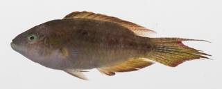 To NMNH Extant Collection (Oxycheilinus bimaculatus USNM 424747 photograph lateral view)