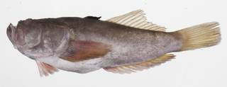 To NMNH Extant Collection (Uranoscopus oligolepis USNM 424738 photograph lateral view)