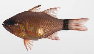 To NMNH Extant Collection (Ostorhinchus aureus USNM 423638 photograph lateral view)