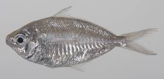 To NMNH Extant Collection (Pentaprion longimanus USNM 423643 photograph lateral view)
