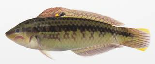 To NMNH Extant Collection (Halichoeres bicolor USNM 424808 photograph lateral view)