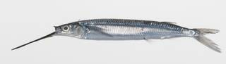 To NMNH Extant Collection (Hemiramphus lutkei USNM 424820 photograph lateral view)