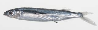 To NMNH Extant Collection (Oxyporhamphus convexus USNM 424809 photograph lateral view)