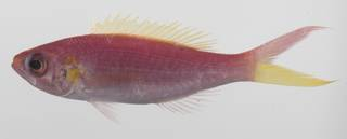 To NMNH Extant Collection (Symphysanodon typus USNM 423633 photograph lateral view)