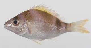 To NMNH Extant Collection (Lipocheilus carnolabrum USNM 423630 photograph lateral view)