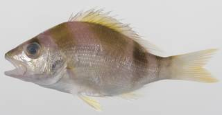 To NMNH Extant Collection (Lipocheilus carnolabrum USNM 423634 photograph lateral view)