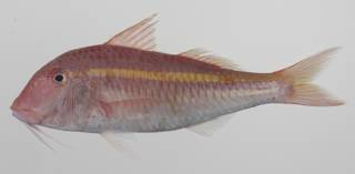 To NMNH Extant Collection (Parupeneus chrysopleuron USNM 423612 photograph lateral view)