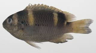 To NMNH Extant Collection (Dischistodus fasciatus USNM 424592 photograph lateral view)