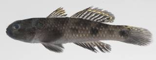 To NMNH Extant Collection (Yongeichthys caninus USNM 424573 photograph lateral view)
