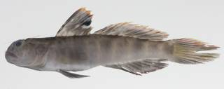 To NMNH Extant Collection (Cryptocentrus russus USNM 424578 photograph lateral view)