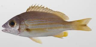 To NMNH Extant Collection (Lutjanus rufolineatus USNM 424581 photograph lateral view)