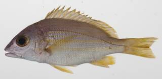 To NMNH Extant Collection (Lutjanus rufolineatus USNM 424582 photograph lateral view)