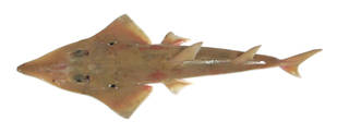 To NMNH Extant Collection (Rhynchobatus australiae USNM 423557 photograph dorsal view)