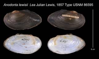To NMNH Extant Collection (Anodonta lewisii Lea, 1857    USNM 86595)
