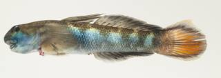 To NMNH Extant Collection (Sicyopterus lagocephalus USNM 384184 photograph lateral view)