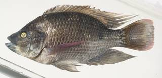 To NMNH Extant Collection (Oreochromis mossambicus USNM 390601 photograph lateral view)