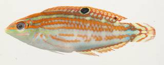 To NMNH Extant Collection (Halichoeres ornatissimus USNM 390975 photograph lateral view)