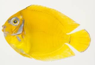 To NMNH Extant Collection (Acanthurus pyroferus USNM 391101 photograph lateral view)