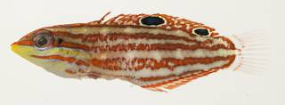 To NMNH Extant Collection (Halichoeres ornatissimus USNM 391225 photograph lateral view)