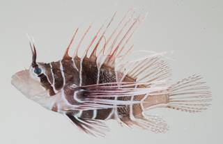 To NMNH Extant Collection (Pterois radiata USNM 392223 photograph lateral view)