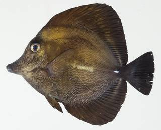 To NMNH Extant Collection (Zebrasoma scopas USNM 392433 photograph lateral view)
