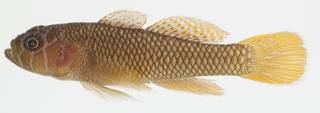 To NMNH Extant Collection (Priolepis inhaca USNM 392485 photograph lateral view)