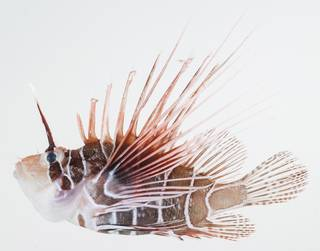 To NMNH Extant Collection (Pterois radiata USNM 392519 photograph lateral view)